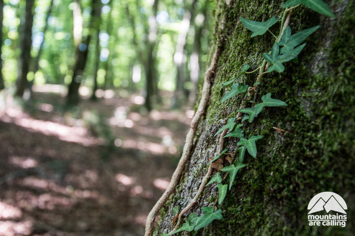 edera sulla corteccia di un albero