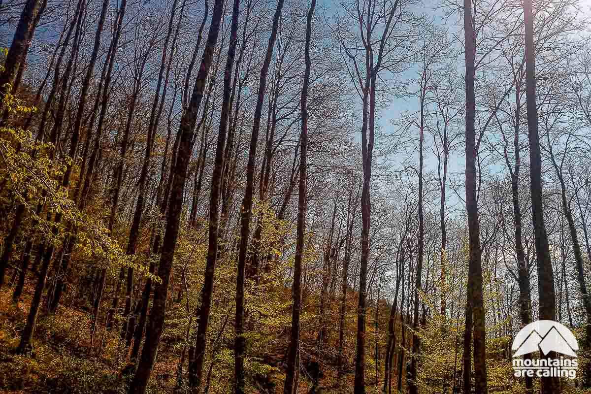 foresta di faggi nelle foreste Casentinesi