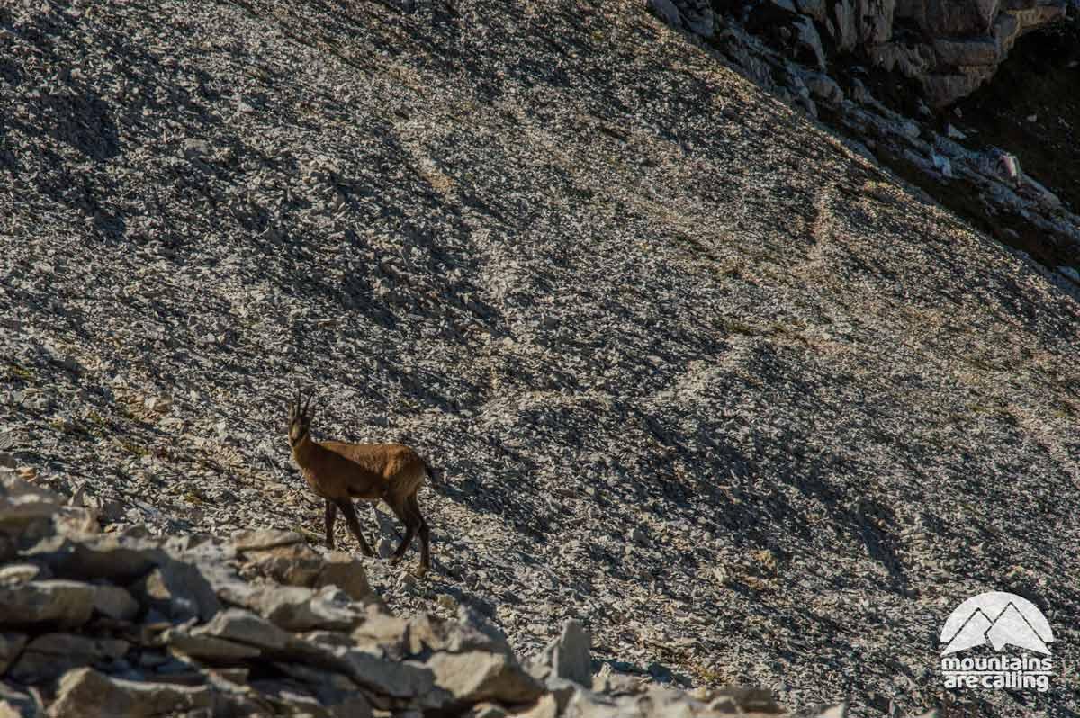 Camoscio che osserva gli escursionisti da un pendio sul Monte Amaro Majella