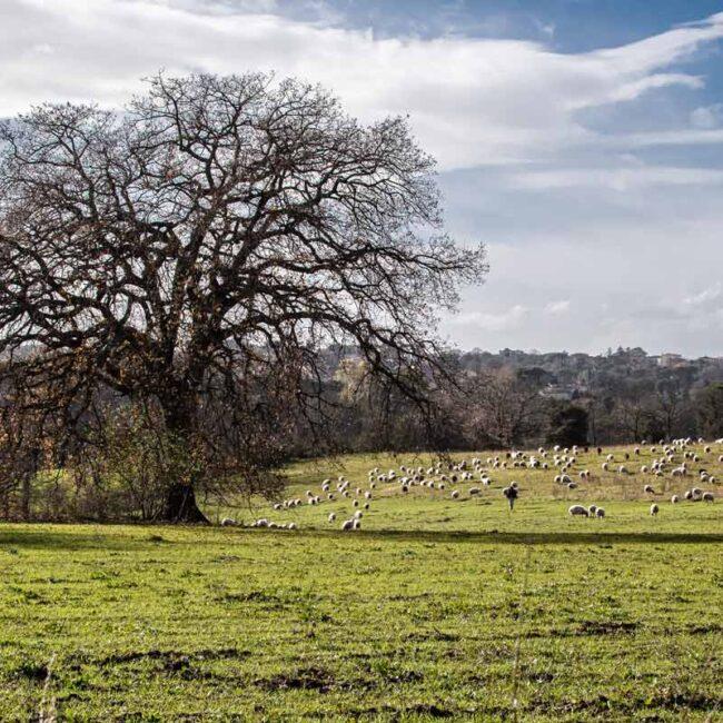 Prato verde con pecore al pascolo e un albero