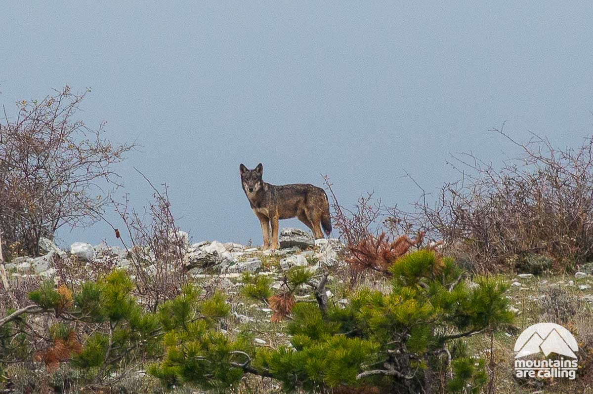 fotografia di lupo