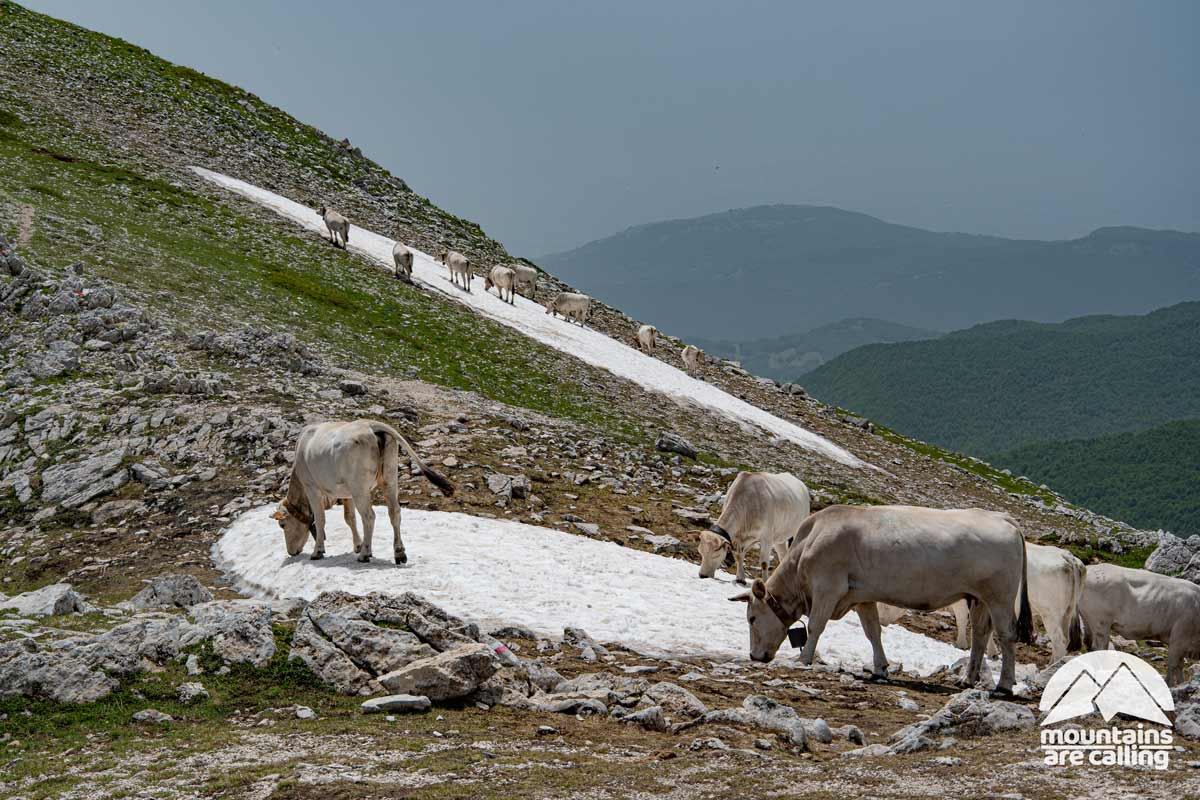 mucche intente a bere da un nevaio di montanga
